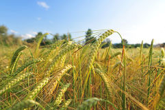 Field of barley Royalty Free Stock Image