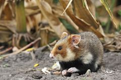 Field hamster eat Royalty Free Stock Image