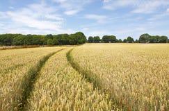 Field of wheat Stock Image