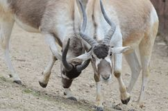 Fighting addax males Stock Photos
