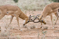 Fighting impala males. Royalty Free Stock Photo