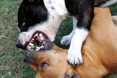 Fighting Staffordshire Terriers Stock Images