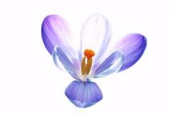 Fiore puro del croco Fotografie Stock Libere da Diritti