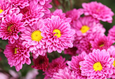 Fiori dei crisantemi Immagine Stock Libera da Diritti