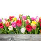 Fiori dei tulipani della primavera Fotografie Stock Libere da Diritti