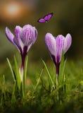 Fioritura del fiore del croco nel tramonto Immagine Stock