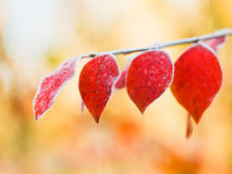 First frost on red leaves in autumn Stock Photography