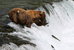 Fishing Grizzly bear. Stock Photography