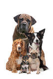 Five dogs Royalty Free Stock Photography