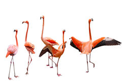 Five Flamingo Royalty Free Stock Images