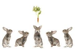 Five grey  rabbit Stock Images
