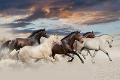 Five horse run gallop Royalty Free Stock Photos