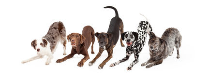 Five Playful Dogs Bowing Royalty Free Stock Images