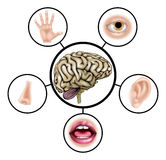 Five senses brain Stock Photos