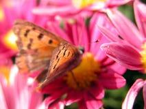 fjärilsblommared Arkivbild