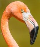 Flamingo closeup Royalty Free Stock Image