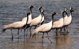 Flock of migratory birds. Stock Photos