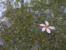 Flor na lagoa Fotos de Stock Royalty Free