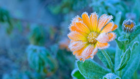 Flower covered with frost Royalty Free Stock Images
