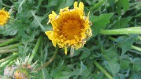 Flower dandelion opening blossom - timelapse video stock video footage