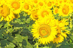 Flowers of sunflowers on a background of green leaves Royalty Free Stock Photo