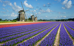 Flowers and windmills in Holland Royalty Free Stock Image