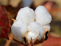 Fluffy Pure White Cotton Boll still on its stem. Royalty Free Stock Image