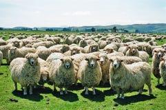 Fluffy Sheep Royalty Free Stock Image