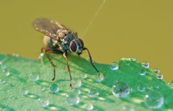 Fly in dew Royalty Free Stock Photography