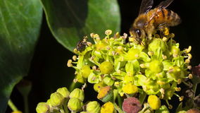 A fly and a honey bee stock video footage