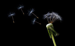 Blowing dandelion seeds Stock Images
