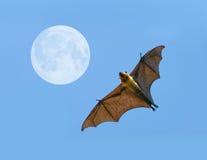 Flying fox bat Stock Photography