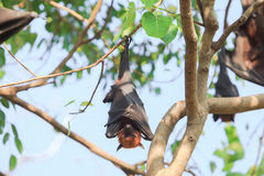 Flying Fox Royalty Free Stock Photography