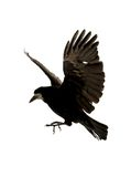Flying raven Royalty Free Stock Photography