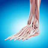 The foot anatomy Royalty Free Stock Photography