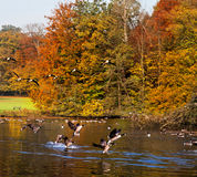 Forest lake in the autumn. Migratory birds. Stock Photos