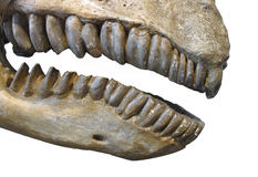 Fossil teeth and jaw of mammal isolated Royalty Free Stock Photos