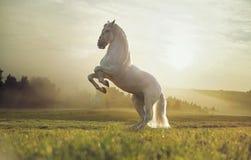 Foto maestosa del cavallo bianco reale Immagine Stock Libera da Diritti