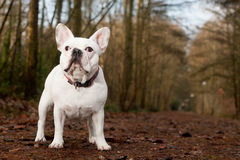 Franse buldog standing in the forest Stock Photography