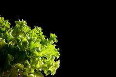 Fresh green lettuce salad fragment on black background Royalty Free Stock Photography