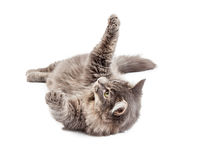 Frisky Gray Cat Laying on Back Stock Photos