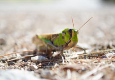 Front view of migratory locust in wilderness. Royalty Free Stock Image