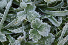 Frost on Leaves Royalty Free Stock Photo