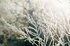 Frosted plants Stock Photography