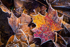 Frozen autumn frost cold morning ice maple leaves Stock Photo