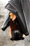 Fruit Bat with Food Stock Images