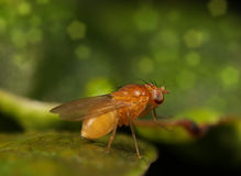 Fruit fly Royalty Free Stock Photo