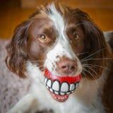 Fun dog dental care Royalty Free Stock Image