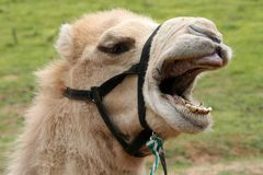 Funny Camel Stock Photography