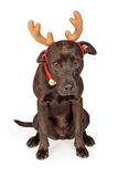 Funny Christmas Reindeer Labrador Dog Stock Photography